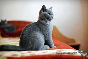 Kittens British Shorthair - 64