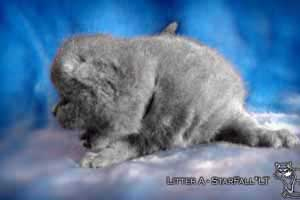Kittens British Shorthair - 63