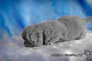 Kittens British Shorthair - 34