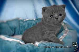 Kittens British Shorthair - 57