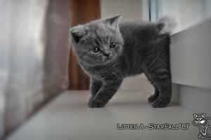 Kittens British Shorthair - 52
