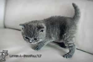 Kittens British Shorthair - 12