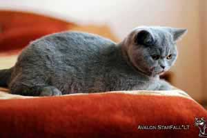 Kittens British Shorthair - 4