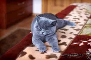 Kittens British Shorthair - 29