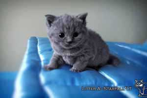 Kittens British Shorthair - 20