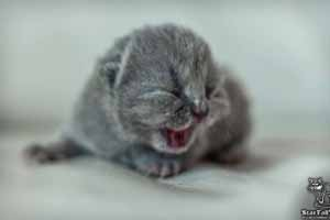 Kittens British Shorthair - 88