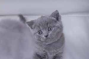 Kittens British Shorthair - 62