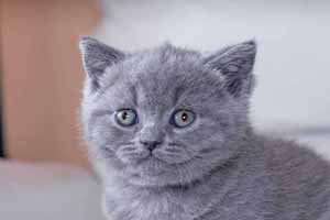 Kittens British Shorthair - 61