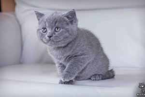 Kittens British Shorthair - 59