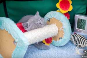 Kittens British Shorthair - 54