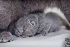 Kittens British Shorthair - 51