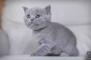 Kittens British Shorthair - 44