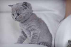 Kittens British Shorthair - 43