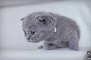 Kittens British Shorthair - 36