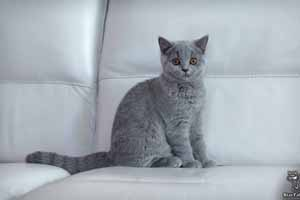 Kittens British Shorthair - 28
