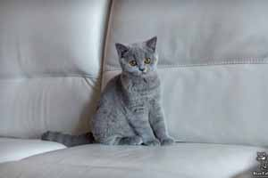 Kittens British Shorthair - 18