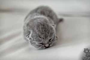 Kittens British Shorthair - 33