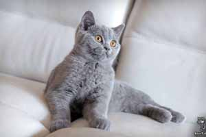 Kittens British Shorthair - 11