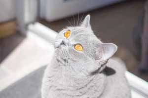 Kittens British Shorthair - 2