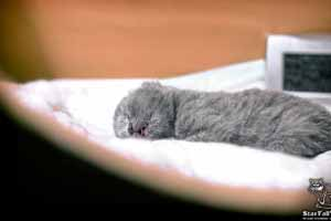 Kittens British Shorthair - 81