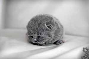 Kittens British Shorthair - 80