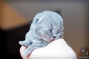Kittens British Shorthair - 47