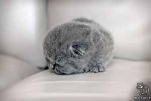Kittens British Shorthair - 41