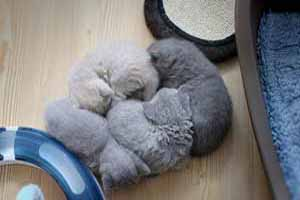 Video  British Shorthair  Kitten - 1
