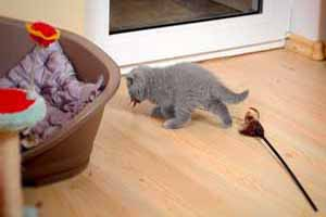 Video  British Shorthair  Kitten - 3