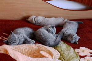 Video  British Shorthair  Kitten - 4