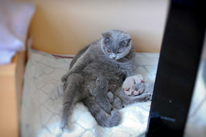 Kittens British Shorthair - 170