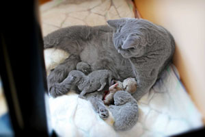 Kittens British Shorthair - 169