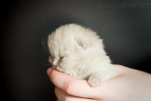 Kittens British Shorthair - 163