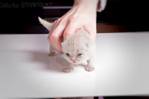 Kittens British Shorthair - 162