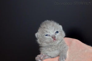 Kittens British Shorthair - 154