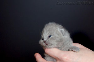 Kittens British Shorthair - 153