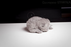 Kittens British Shorthair - 35