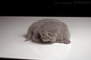 Kittens British Shorthair - 148