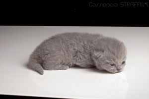 Kittens British Shorthair - 147