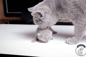 Kittens British Shorthair - 146