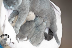 Kittens British Shorthair - 144