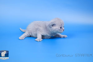 Kittens British Shorthair - 143