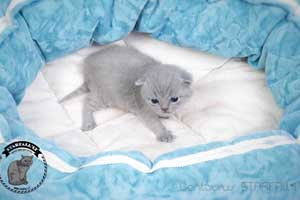 Kittens British Shorthair - 140