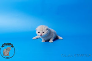 Kittens British Shorthair - 138