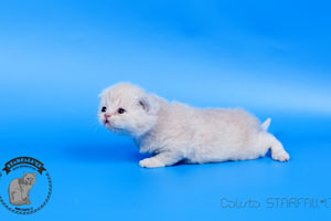 Kittens British Shorthair - 136