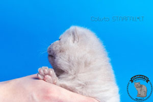 Kittens British Shorthair - 21