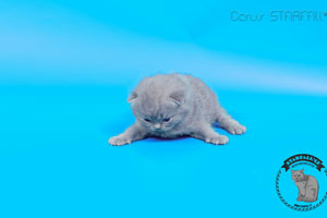 Kittens British Shorthair - 131