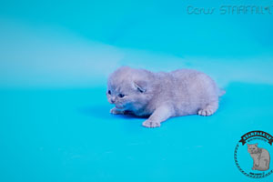 Kittens British Shorthair - 32
