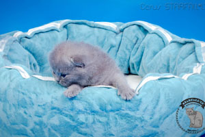 Kittens British Shorthair - 128