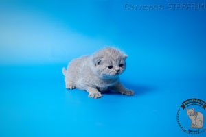Kittens British Shorthair - 123